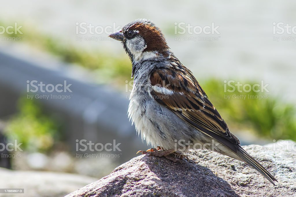 Portrait of a home sparrow royalty-free stock photo