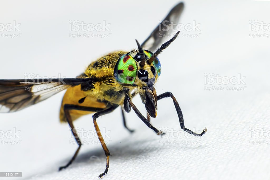 Portrait of a horse fly royalty-free stock photo