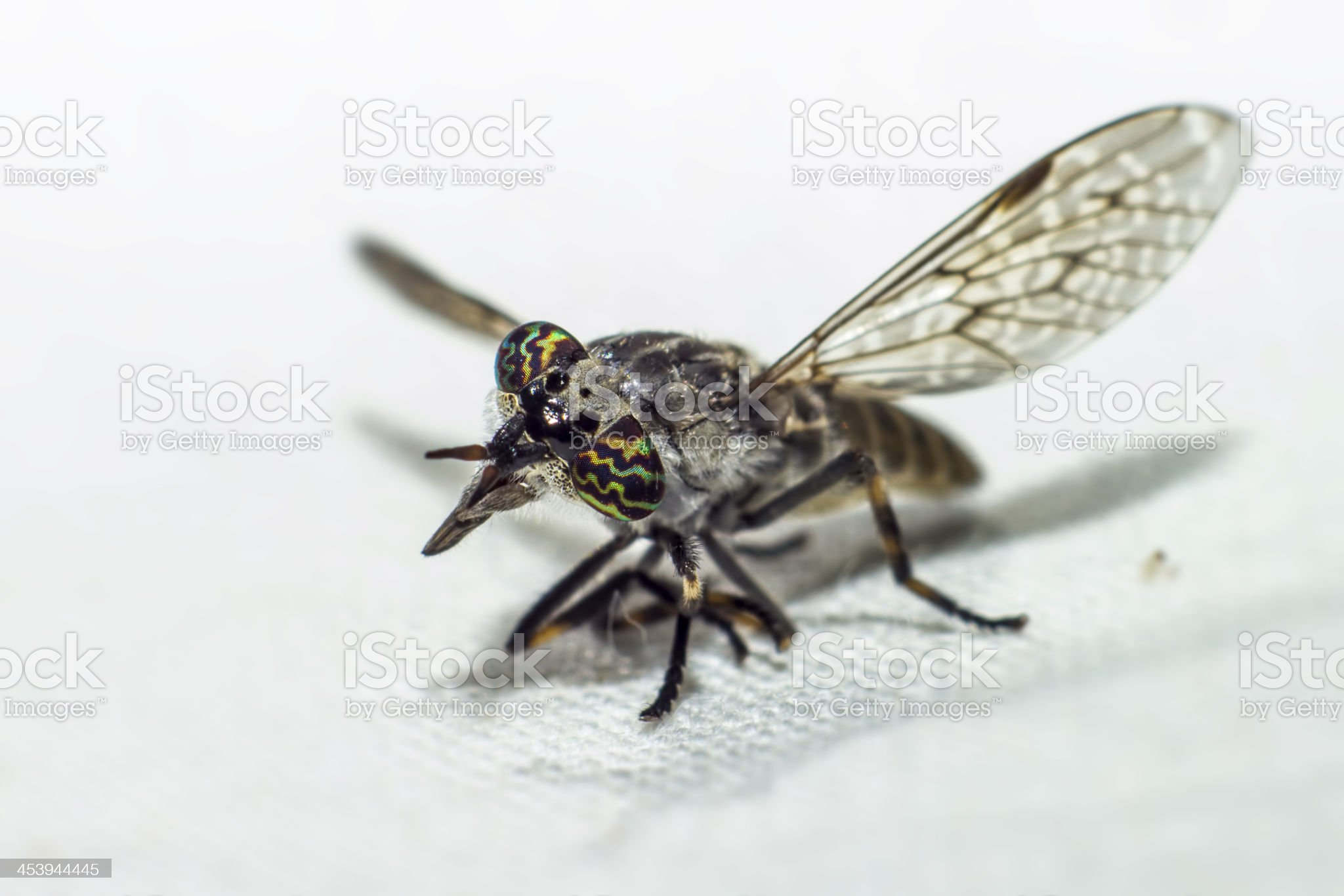 Portrait of a Horse-fly royalty-free stock photo