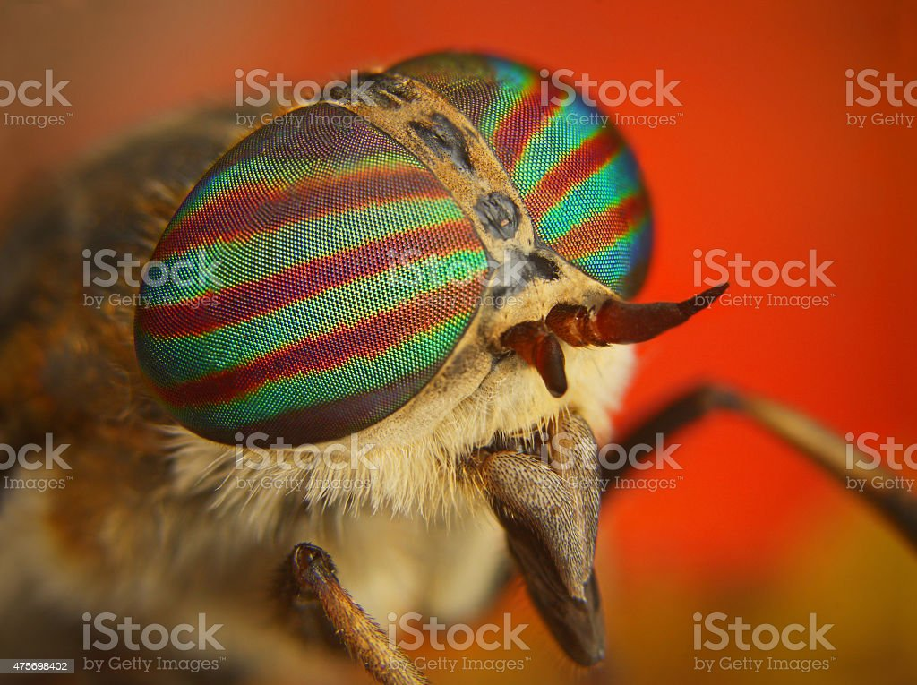 Portrait of a Horse-fly stock photo
