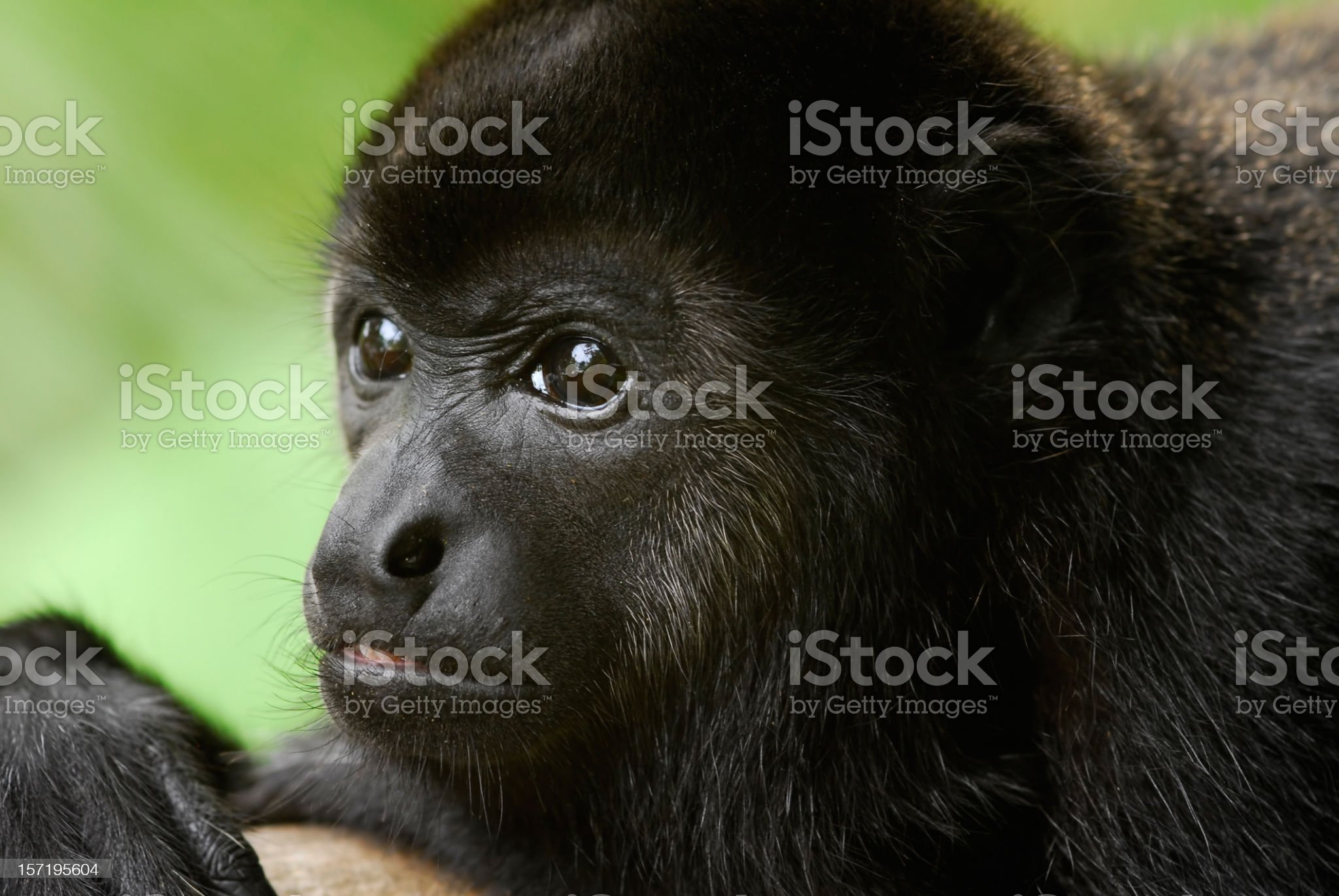 Portrait of a Howler Monkey royalty-free stock photo