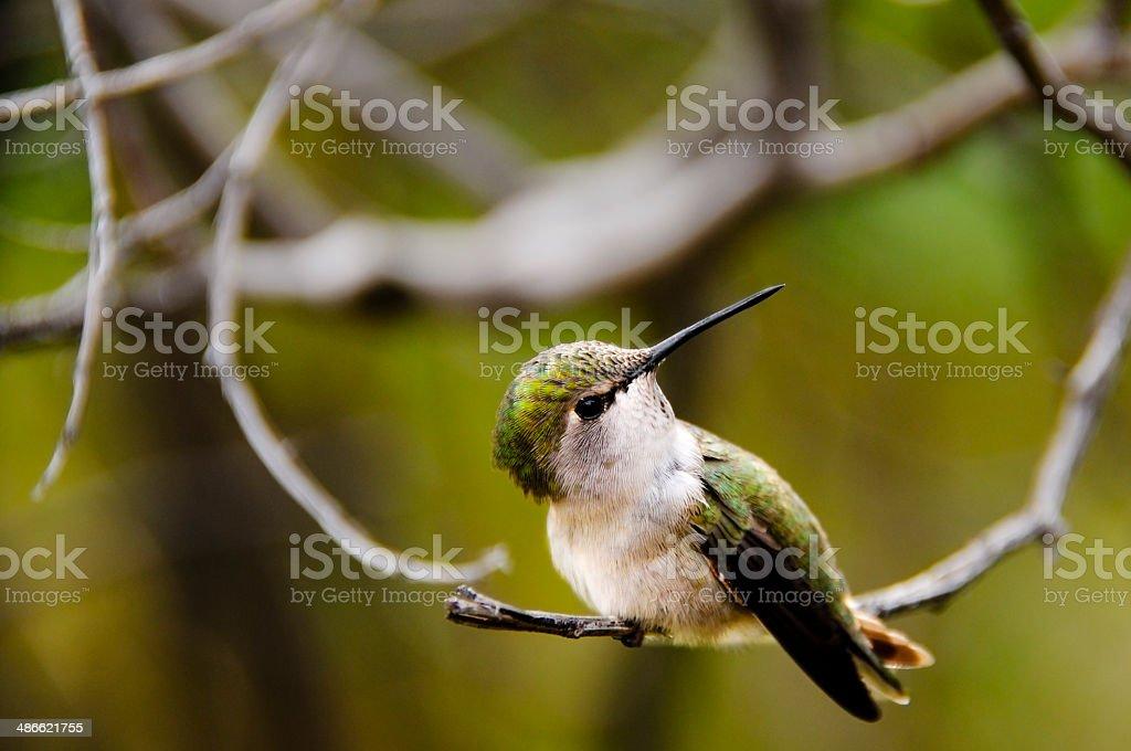 Portrait of a Hummingbird stock photo