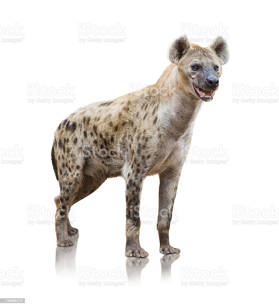 Portrait Of A Hyena stock photo