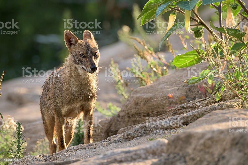 Portrait of a jackal climbing a hill stock photo