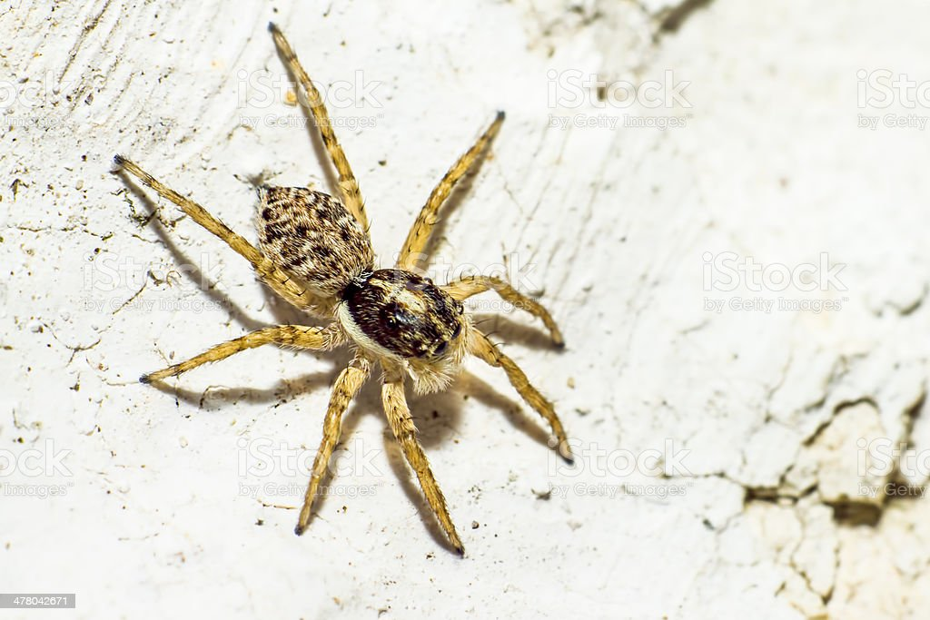 Portrait of a Jumping Spider royalty-free stock photo