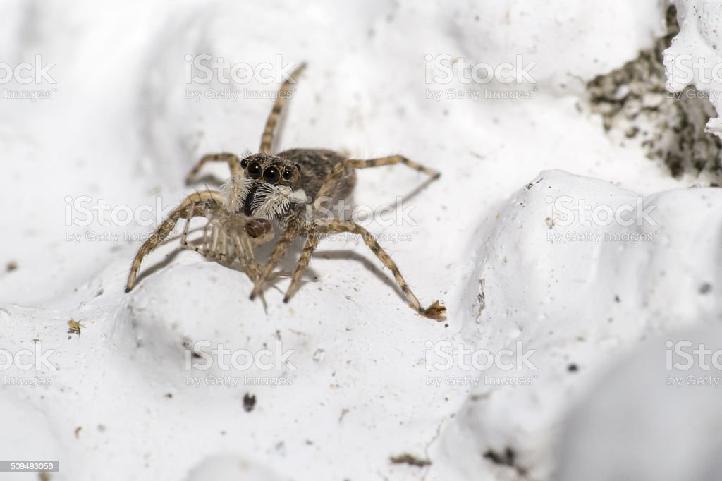 Portrait of a jumping spider stock photo