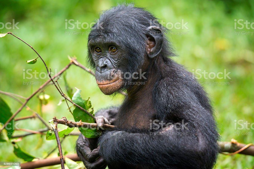 Portrait of a juvenile Bonobo (Pan paniscus, Pygmy Chimpanzee) stock photo