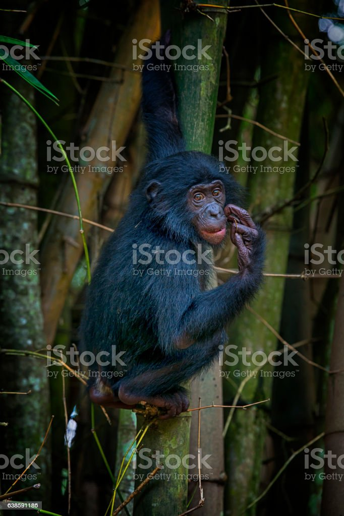 Portrait of a juvenile Bonobo (Pan paniscus, Pygmy Chimpanzee) stock photo