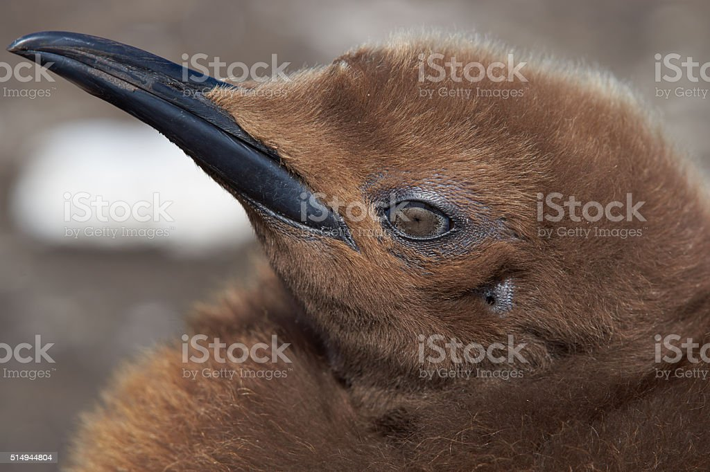 Portrait of a King Penguin Chick stock photo