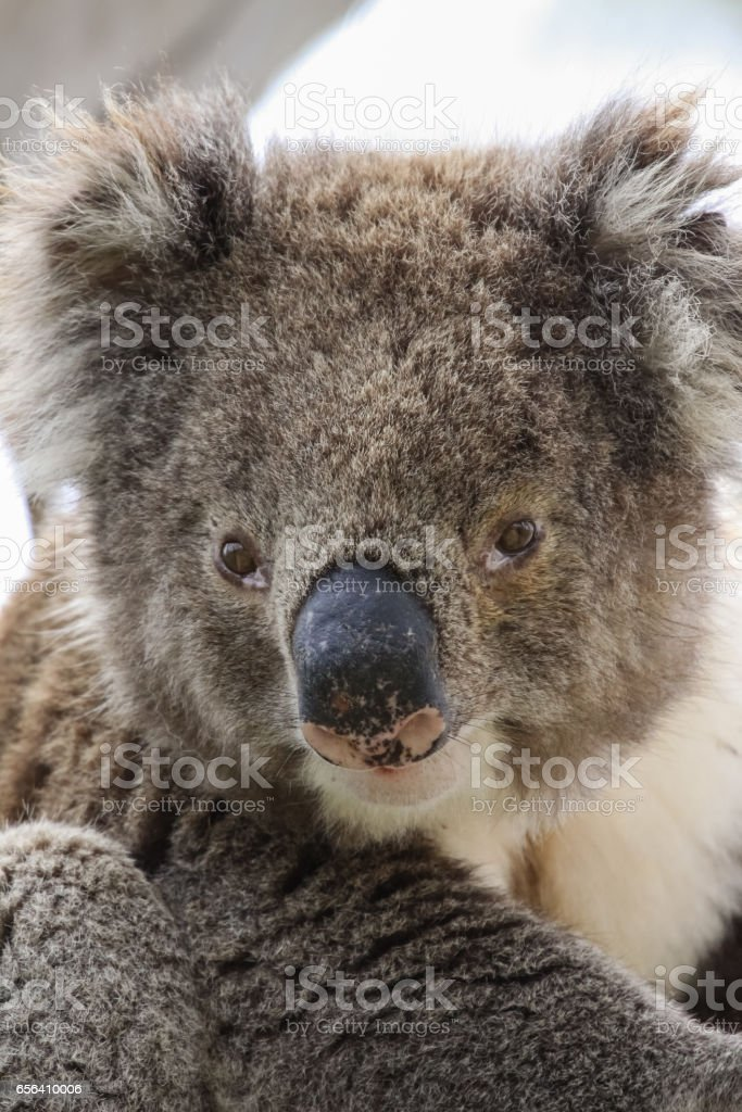 Portrait of a Koala sitting on a branch of  an eucalyptus tree, facing, Great Otway National Park stock photo