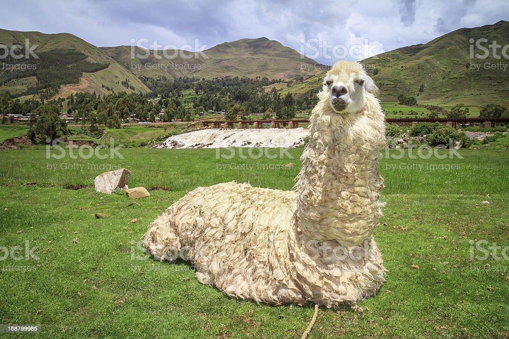 Portrait of a lama on farm. royalty-free stock photo