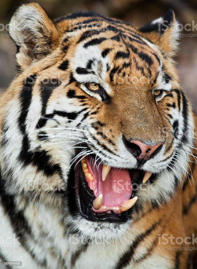 Portrait of a large Bengal tiger snarling stock photo