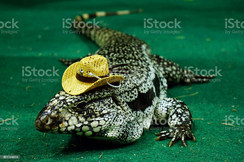 Portrait of a large colorful monitor lizard (Goanna) stock photo