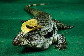 Portrait of a large colorful monitor lizard (Goanna)