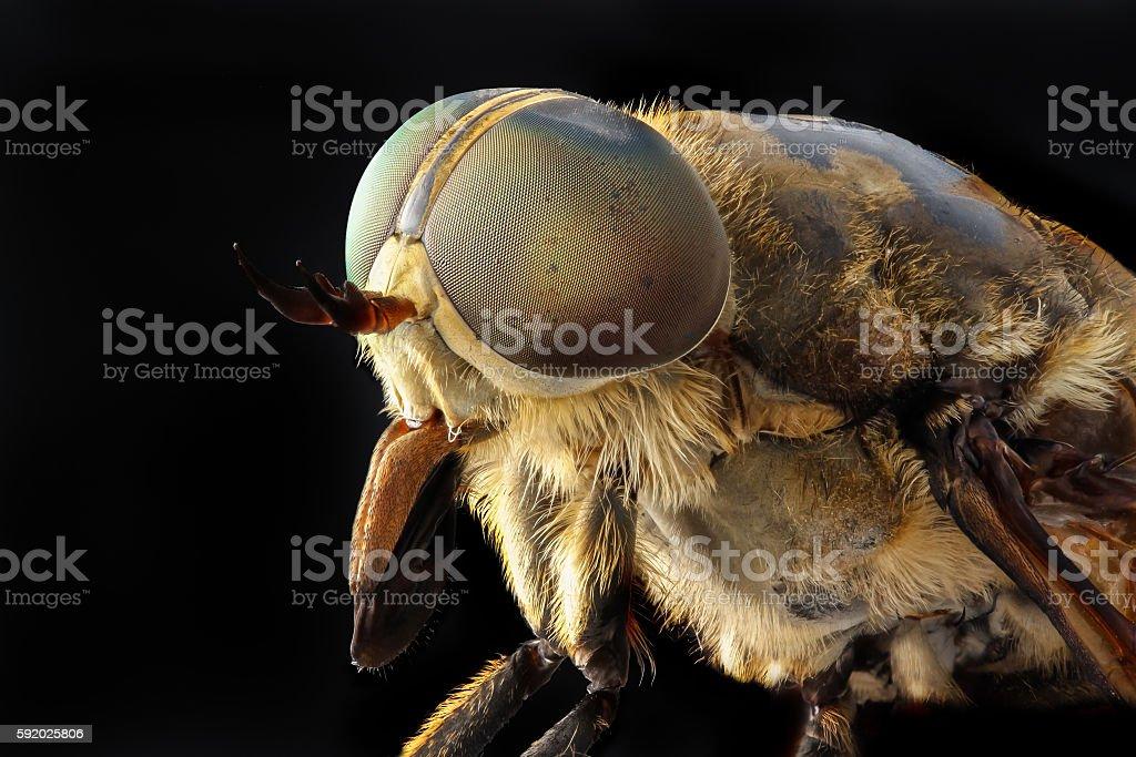 Portrait of a large horsefly Tabanidae on a black background stock photo