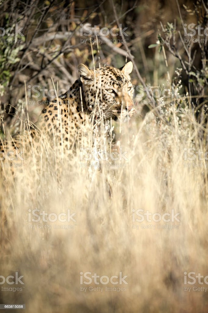 Portrait of a leopard stock photo