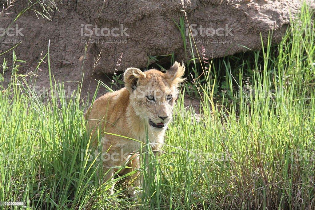 Portrait of a lion cub stock photo