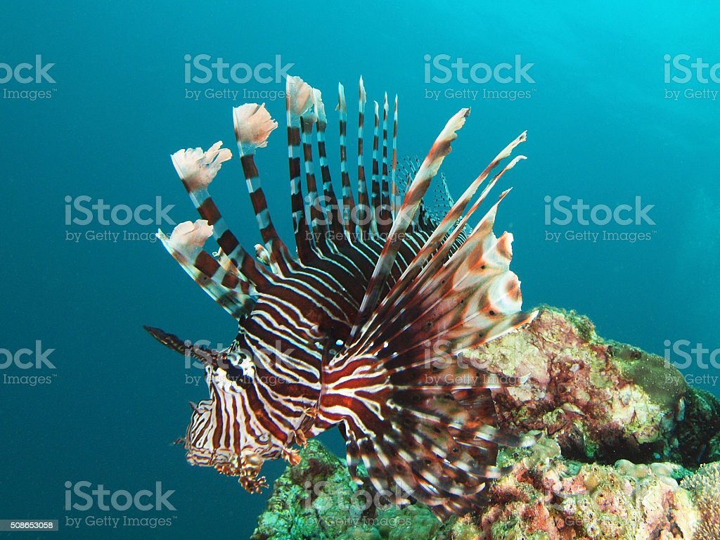 portrait of a Lion fish stock photo