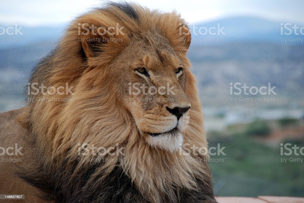 Portrait of a lion looking carefully off into the distance royalty-free stock photo