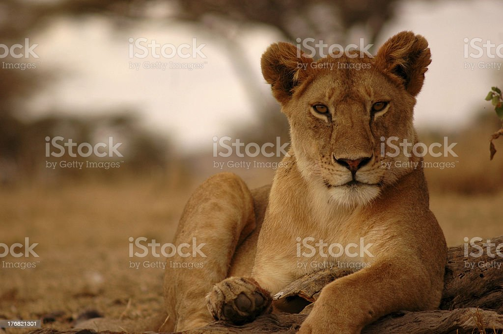 A portrait of a lioness in Serengeti laying on the ground stock photo