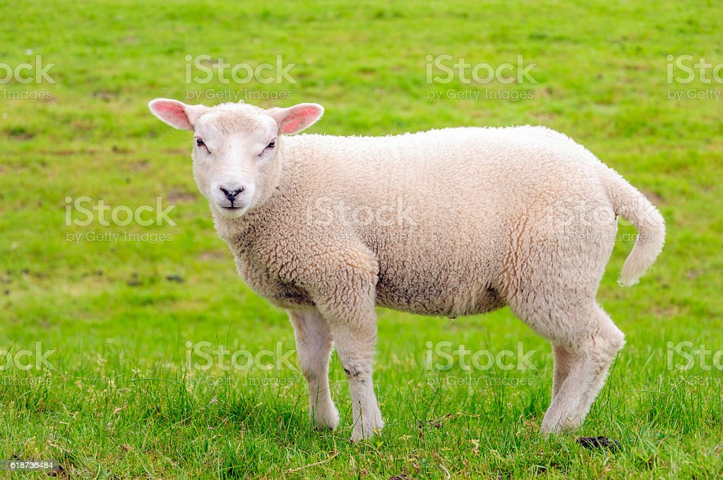 Portrait of a litte lamb standing in the meadow stock photo