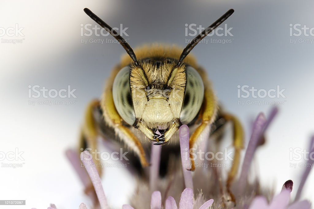 portrait of a little bee stock photo