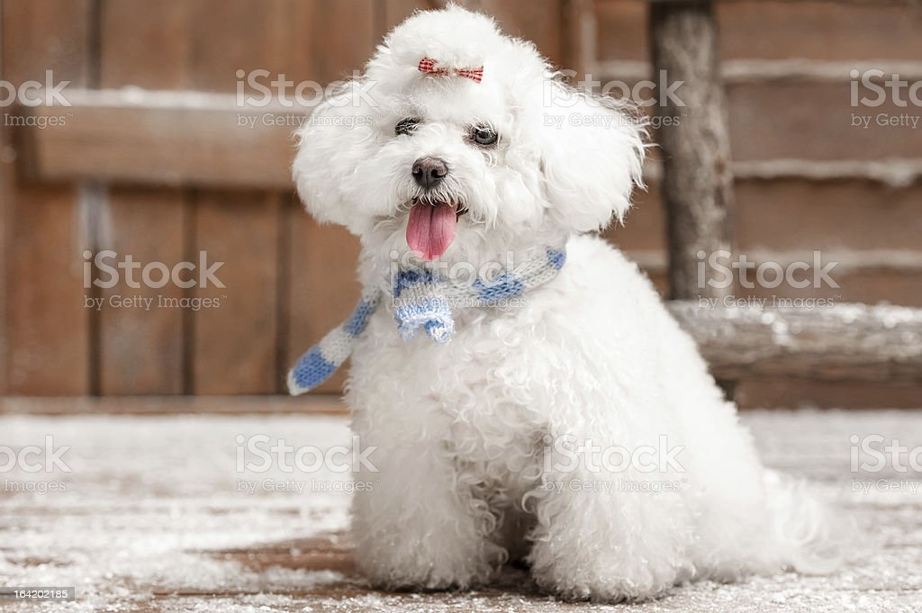 Portrait of a little dog royalty-free stock photo