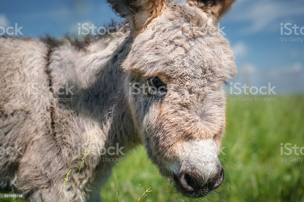 Portrait of a little donkey stock photo