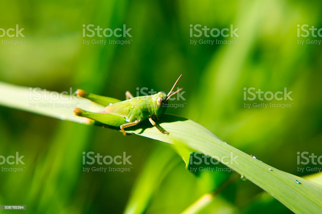 Portrait of a living grasshopper. stock photo