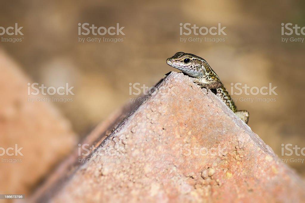 Portrait of a lizard (Zootoca vivipara) royalty-free stock photo