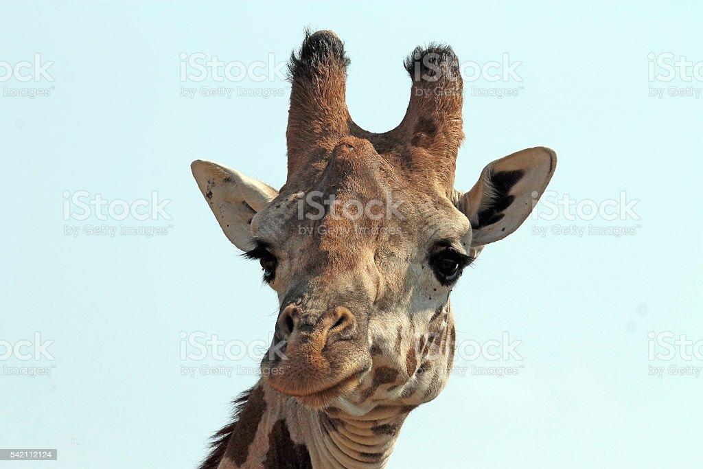 Portrait of a Maasai Giraffe stock photo