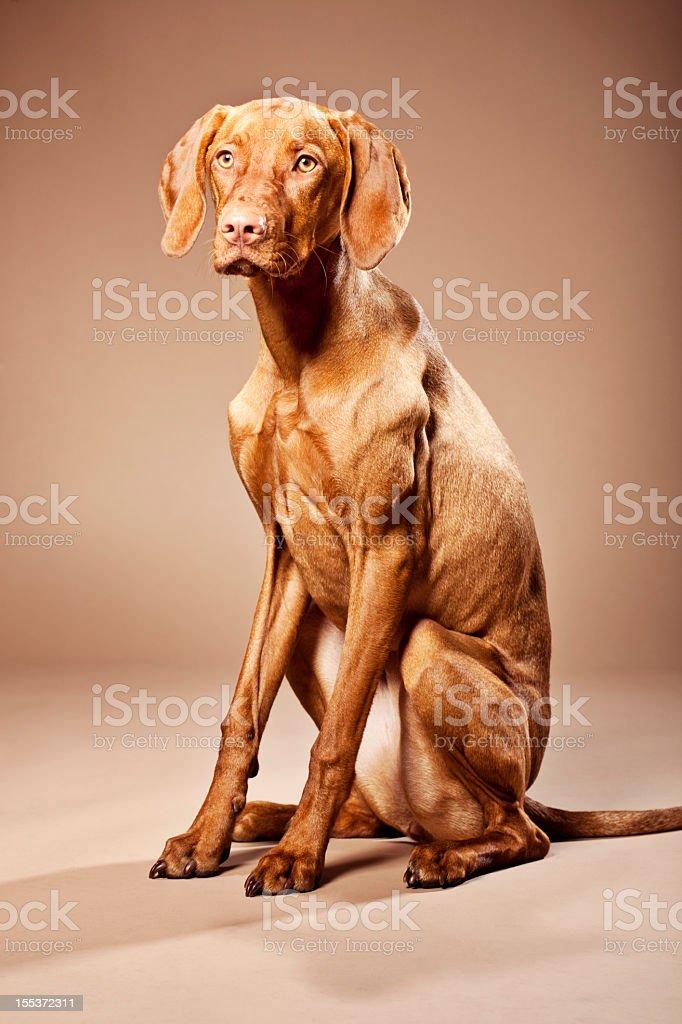 Portrait of a Magyar Vizsla Dog stock photo