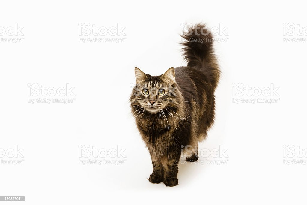 portrait of a Maine Coon cat royalty-free stock photo