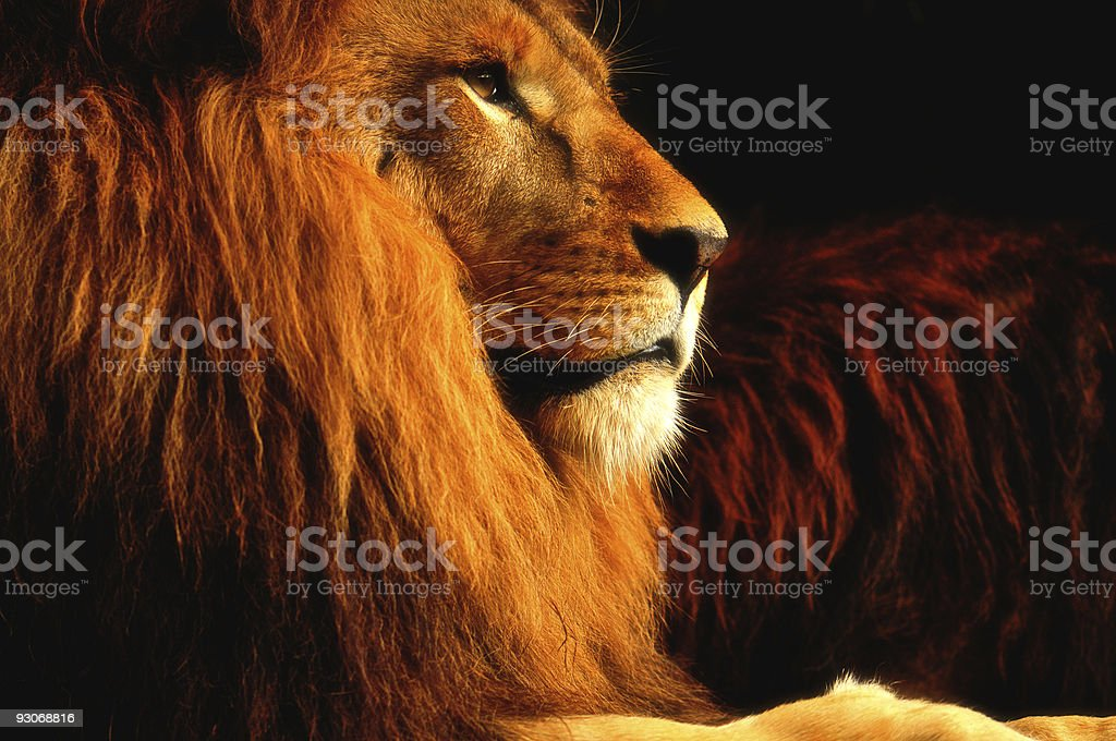 Portrait of A Majestic Lion stock photo