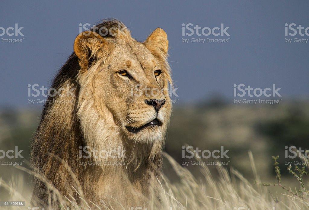 Portrait of a majestic male lion stock photo