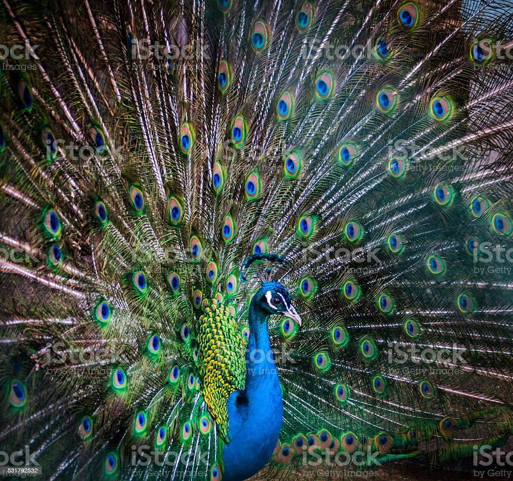 Portrait de mâle paon un majestueux photo libre de droits