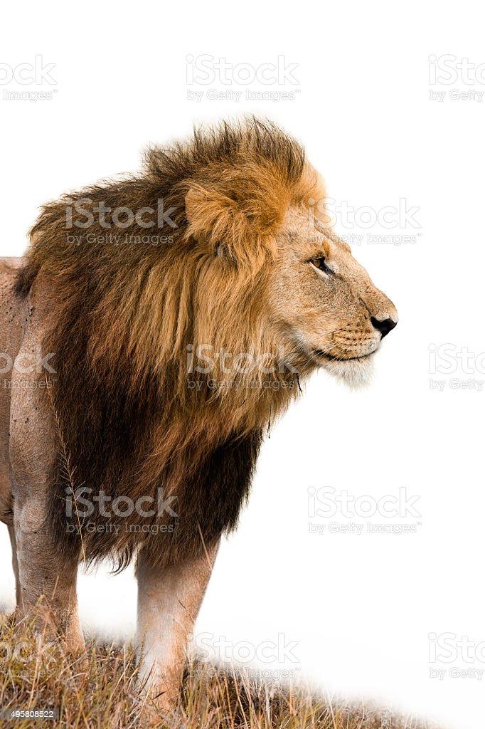 Portrait of a male lion stock photo