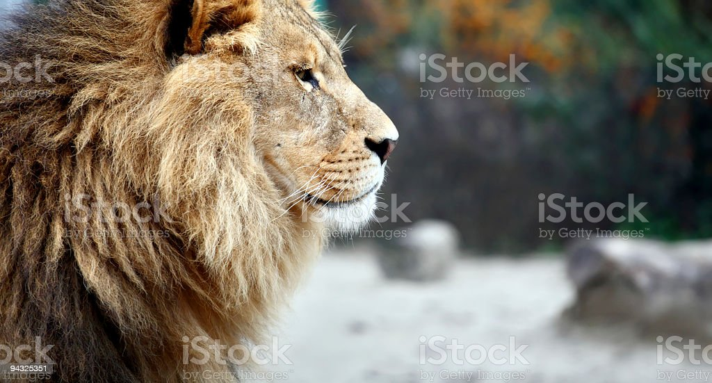 Portrait of a male lion royalty-free stock photo