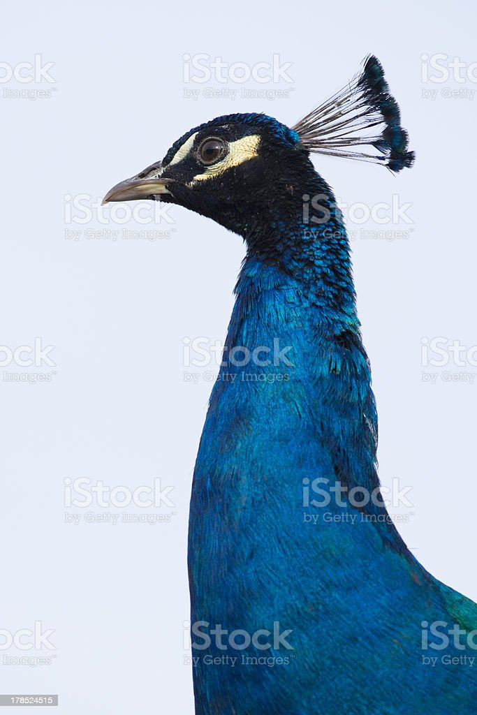 Portrait of a male Peacock royalty-free stock photo