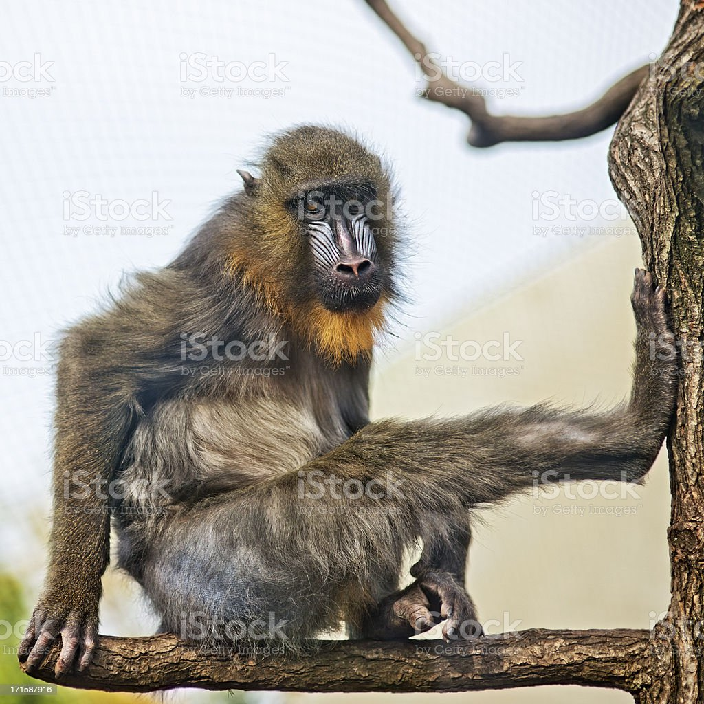 Portrait of a Mandrill royalty-free stock photo