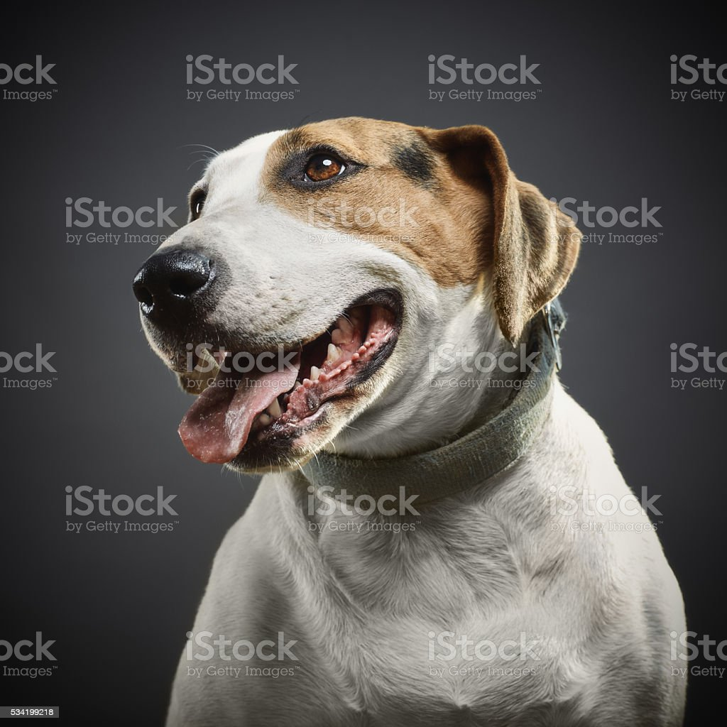 Portrait of a mixed bull terrier dog. stock photo