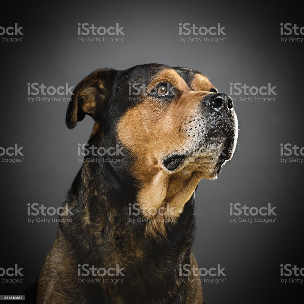 Portrait of a mixed rottweiler dog. stock photo