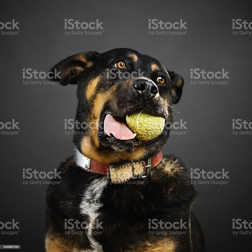 Portrait of a mixed rottweiler dog with a tennis ball stock photo