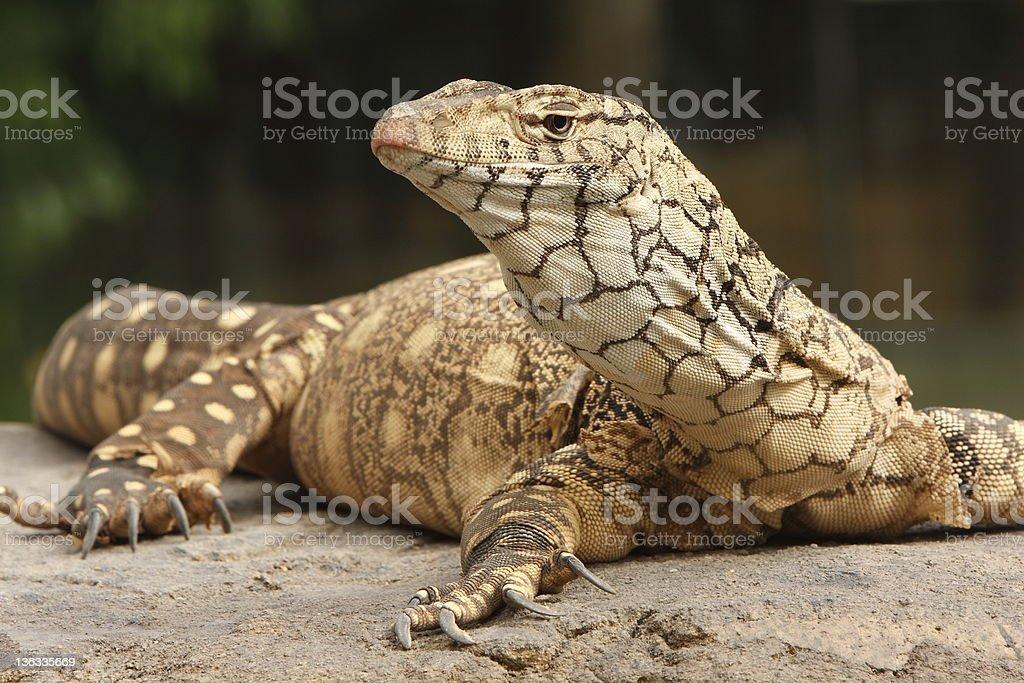 Portrait of a monitor lizard lying on a rock stock photo