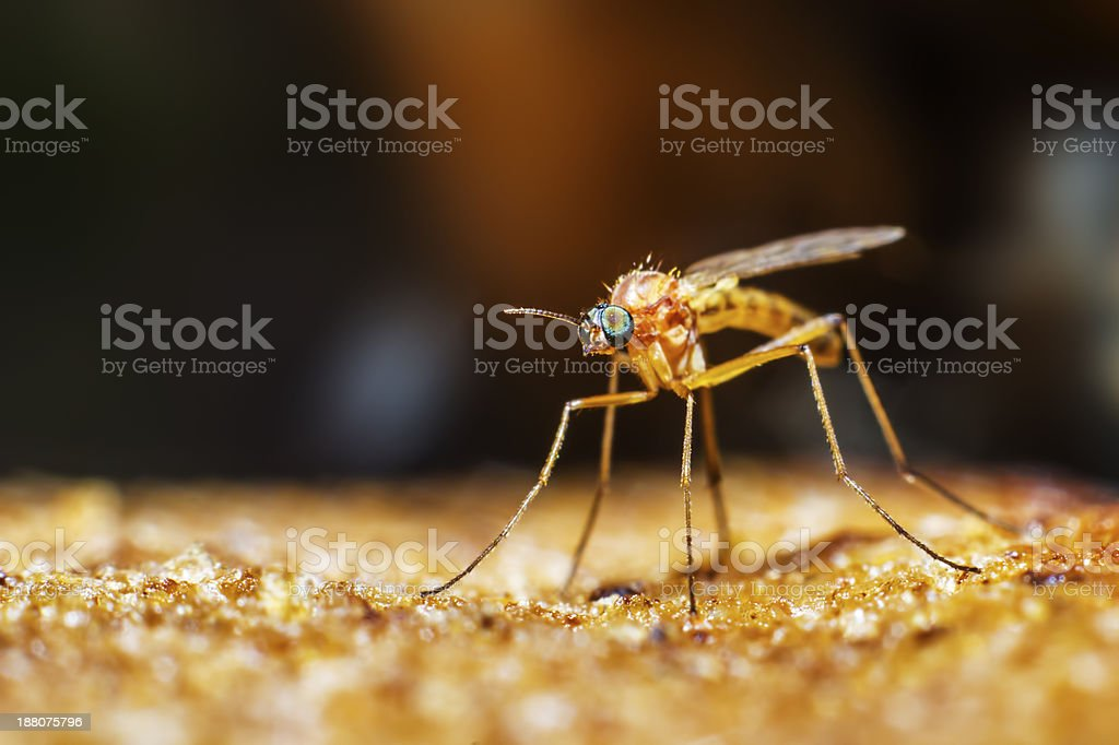 Portrait of a mosquito royalty-free stock photo