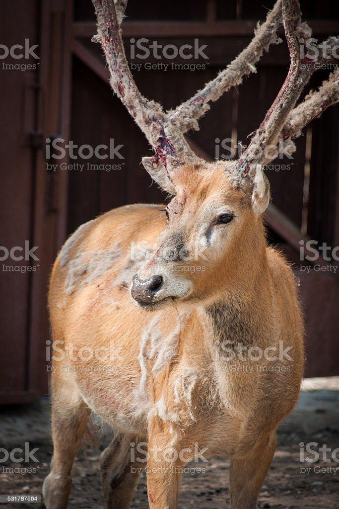 Portrait de cerf de moulting un photo libre de droits