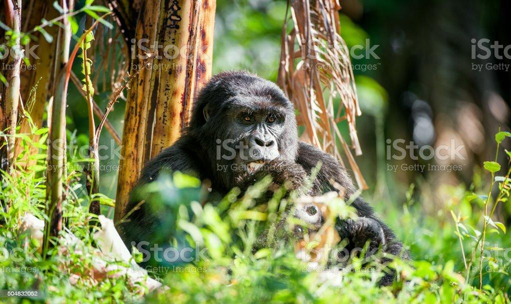 Portrait of a mountain gorilla stock photo