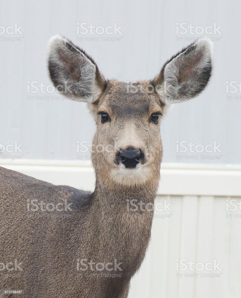 Portrait of a Mule Deer, Odocoileus hemionus stock photo