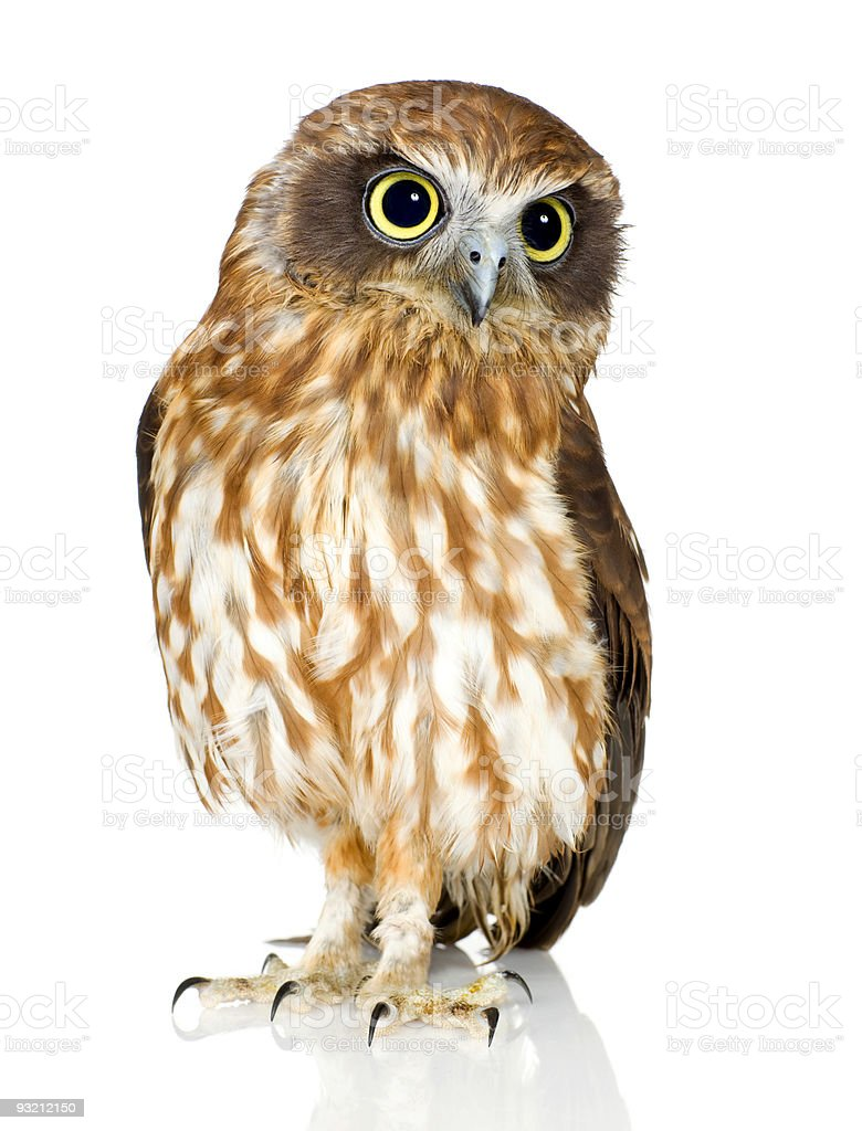 A portrait of a New Zealand owl royalty-free stock photo