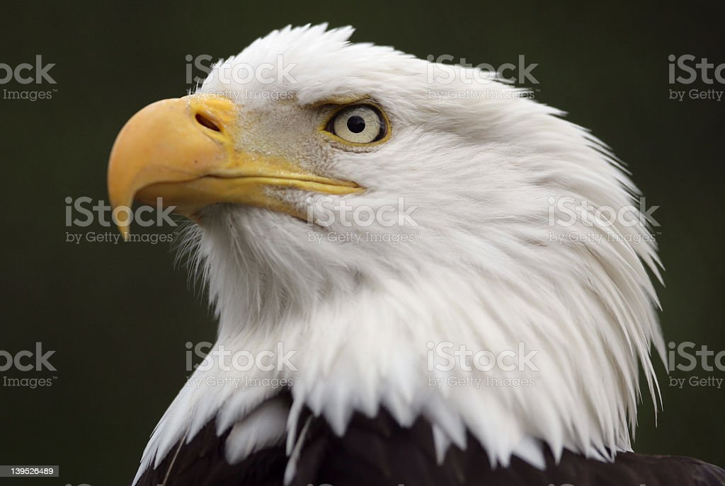 Portrait of a North American bald eagle's head royalty-free stock photo